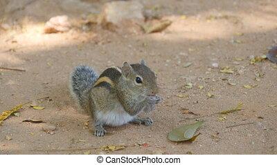 Chipmunk in park eating seeds. Close up.