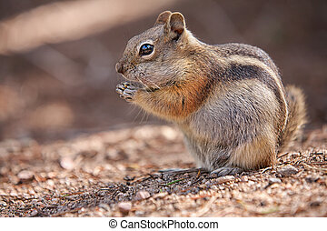 chipmunk in the Rocky Mountain National Park - eating...