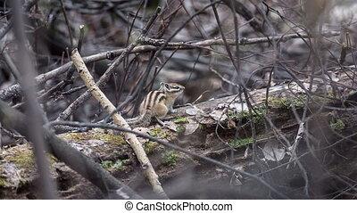 Chipmunk in their natural habitat