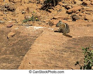 chipmunk on a rock at zion np, utah