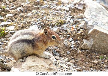 Chipmunk on a rock