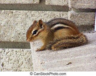 Chipmunk on brick sill