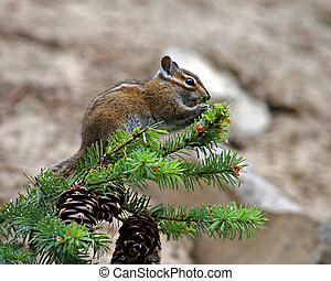 Chipmunk on top of pine tree eating a berry.