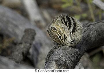 Chipmunk preening itself on a log.