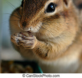 Chipmunk - rodent