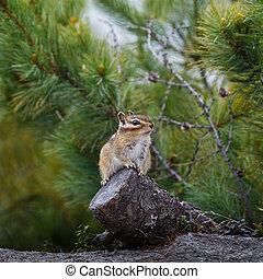 Chipmunk sits on a stump
