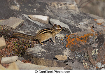 Chipmunk sitting on the rocks