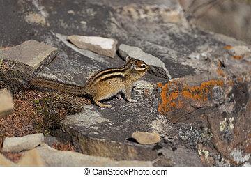 Chipmunk sitting on the rocks