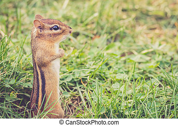Chipmunk standing at full attention - Funny little Eastern...