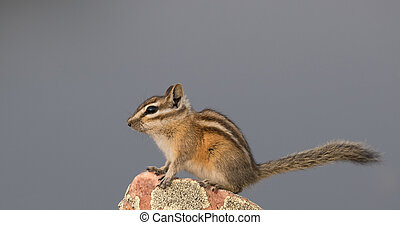 Chipmunk with long tail sitting on a rock