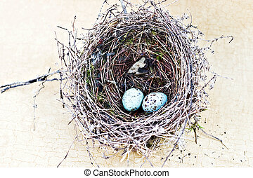 Chipping sparrow nest and eggs - Real nest and blue spotted...