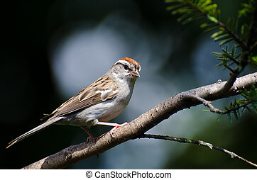 Chipping Sparrow Perched on a Branch