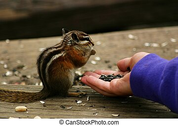 Chippy - Feeding chipmunks is a favorite tourist passtime in...