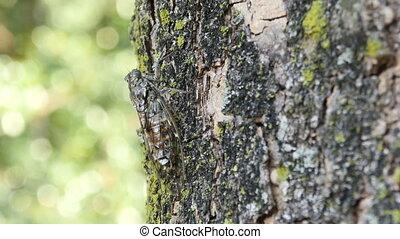 chirring cicada on tree close up, macro