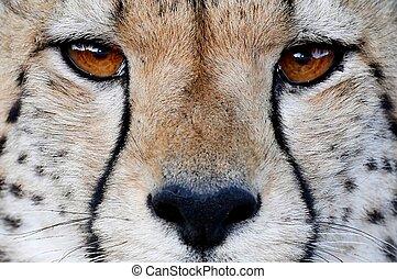 chita, gato selvagem, olhos
