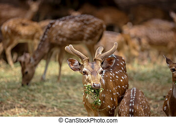 Chital deers are native of Indian sub continent
