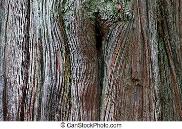 chiudere, albero redwood, su, tronco