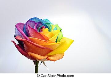 chiudere, arcobaleno, fiore, su, rosa