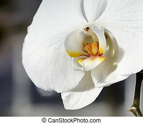 chiudere, bianco, su, orchidea
