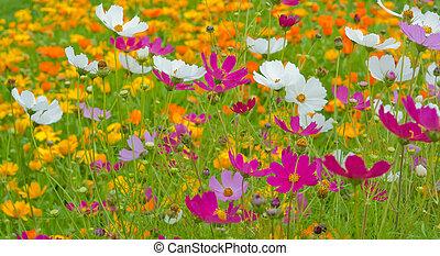 chiudere, cosmo, fiori, su