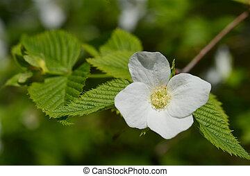 chiudere, fiore bianco, su