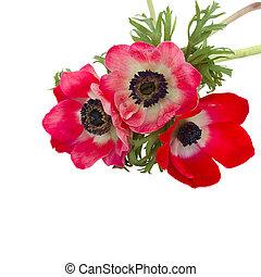 chiudere, fiori, su, anemone