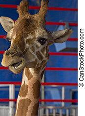 chiudere, giraffa, su