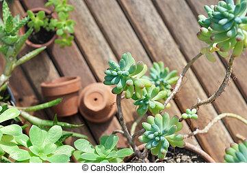 chiudere, pianta, succulento