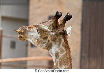 chiudere, testa, giraffa, colpo, su