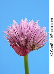 chive bloem