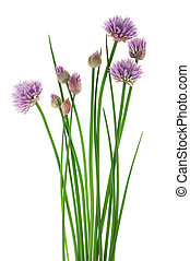 Chive flowers - Chives with Flowers isolated on white ...