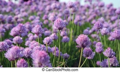 Chive flowers in the foreground and blurred background moved...
