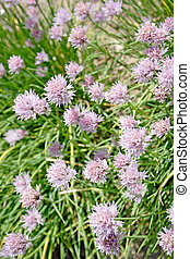 Chives - Blooming chives in a kitchen garden - outdoor shot