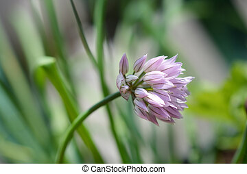 Chives flower - Latin name - Allium schoenoprasum