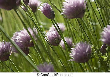 chives flowerbed
