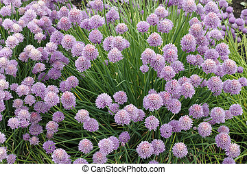 Chives Growing - Beautiful bunch of purple pink blossom ...