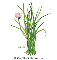 Chives Herb - Chives, perennial herb, rose-violet flowers, ...