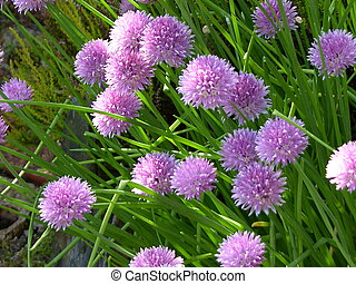 Chives - This image was captured in my Scottish garden on a ...