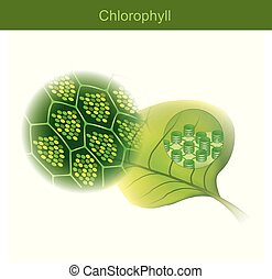 Chlorophyll is a green photosynthetic pigment found in plants.