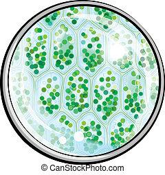 chlorophyll., planta, microscopio, células, debajo