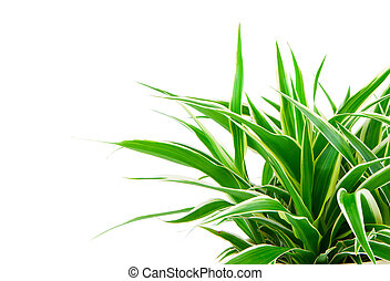 Chlorophytum - evergreen perennial flowering plants in the family Asparagaceae. used and grown as a medicinal plant.