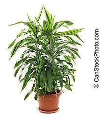 chlorophytum, -, perennial imperecedero, florecimiento,...