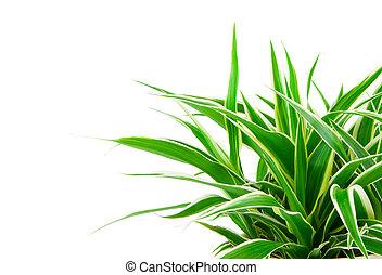 chlorophytum, -, plante vivace arbre vert, fleurir, usines,...