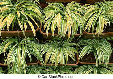 chlorophytum, rośliny