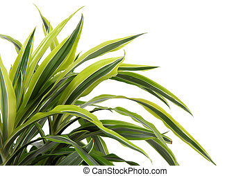 chlorophytum, -, zimozielona bylina, flowering, rośliny