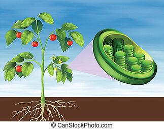 Chloroplast in plant - Illustration of a Chloroplast in...