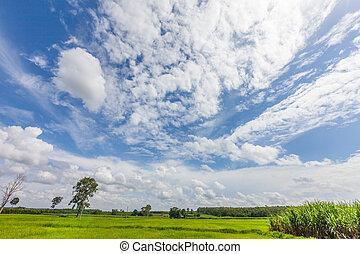 chmura, błękitne niebo, trawa, ryż, zielone pole