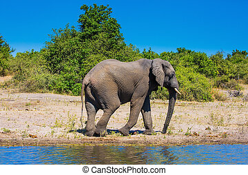 African elephant - loner on a watering