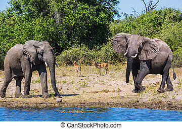 African elephants in the Okavango Delta - Chobe National ...
