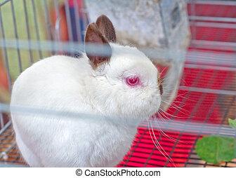 Chocolate Himalayan Colored Netherland Dwarf Bunny